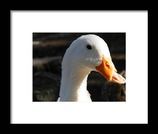 Duck Framed Print featuring the photograph The Injured Duck by Mark Esparza