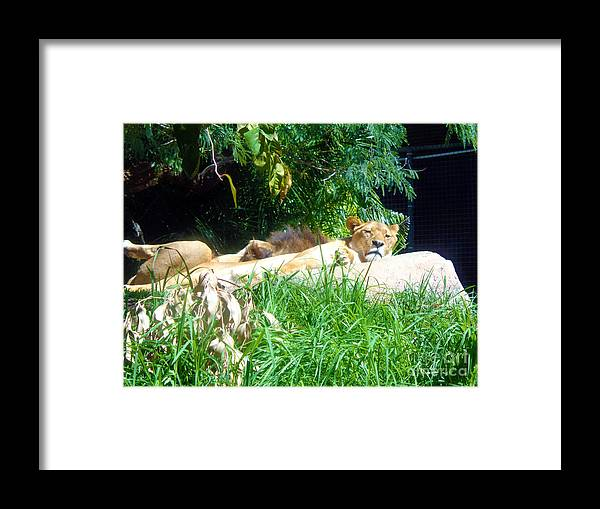 Lion Framed Print featuring the photograph The Lion Awakes by Tracey Everington