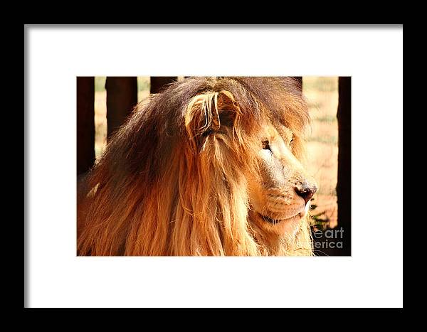 Lion King Hair Fur Wild Framed Print featuring the photograph The Lion King's New Hairdont by Erick Gomes Anastacio