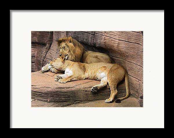 Lions Framed Print featuring the photograph The Lions by Michele Caporaso
