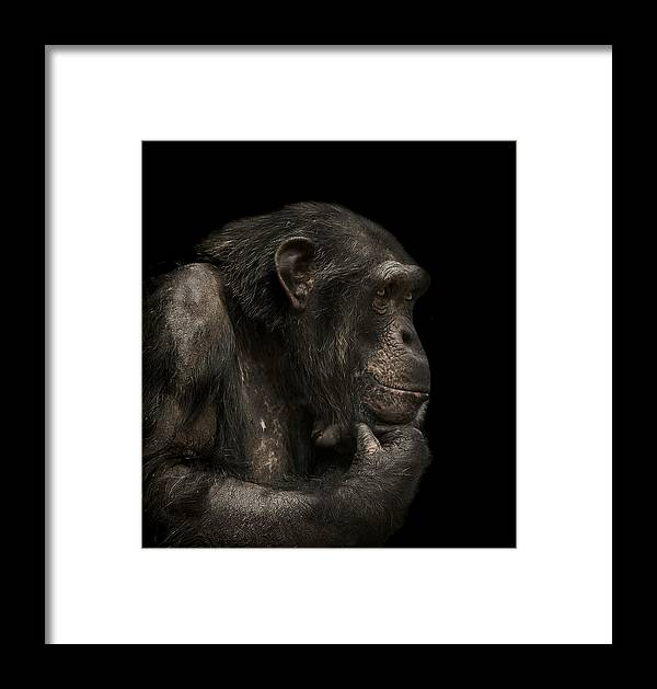 Chimpanzee Framed Print featuring the photograph The Listener by Paul Neville