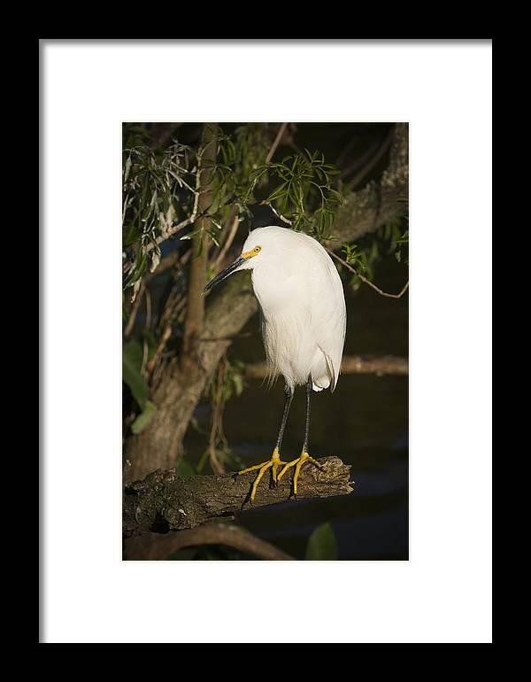 Snowy Egret Framed Print featuring the photograph The Lonely Snowy Egret by Chad Davis