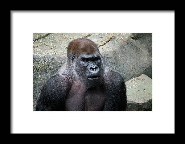 Apes Framed Print featuring the photograph The Look by Christopher Muto
