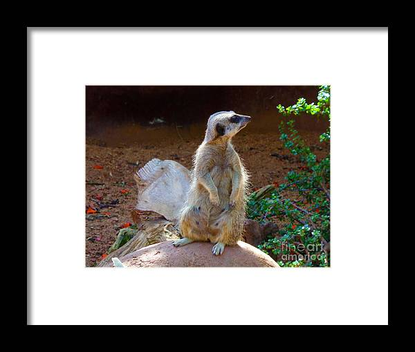 Meerkat Framed Print featuring the photograph The Lookout - Meerkat by Tracey Everington