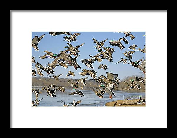 Ducks Framed Print featuring the photograph The Mad Rush by Robert Pearson