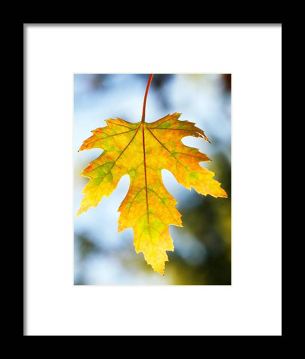 Maple Framed Print featuring the photograph The Maple Leaf by Marilyn Hunt