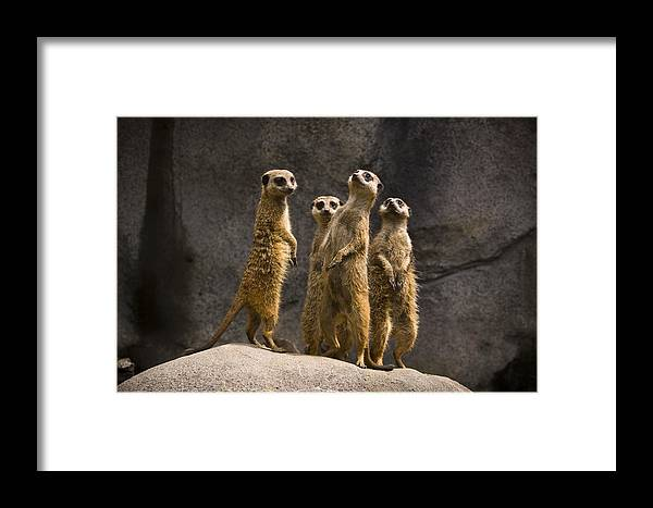 Chad Davis Framed Print featuring the photograph The Meerkat Four by Chad Davis