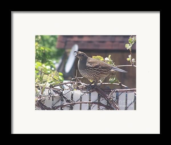 Quail Framed Print featuring the photograph The Mrs. by Karli Martin