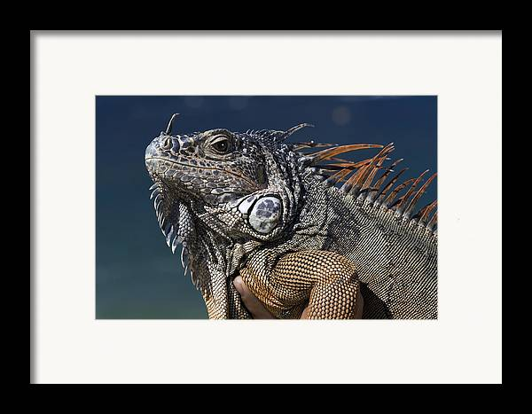 Animal Framed Print featuring the photograph The Night Of The Iguana by Carl Purcell