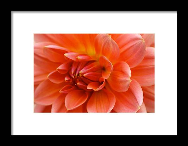Floral Framed Print featuring the photograph The Opening Of A Dahlia by Sonja Anderson
