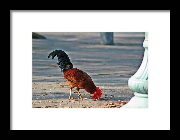 Rooster Framed Print featuring the photograph The Picking Rooster by Susanne Van Hulst