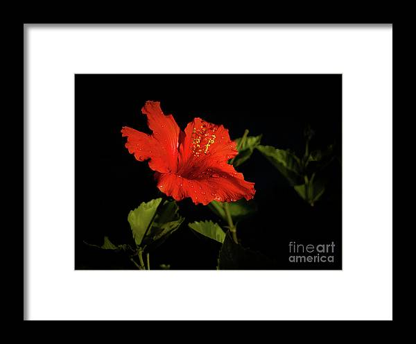 Hibiscus Framed Print featuring the photograph The Red Hibiscus by Robert Bales