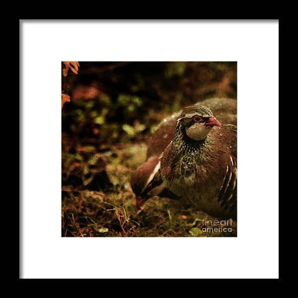Partridge Framed Print featuring the photograph The Redlegged Partridges by Angel Ciesniarska