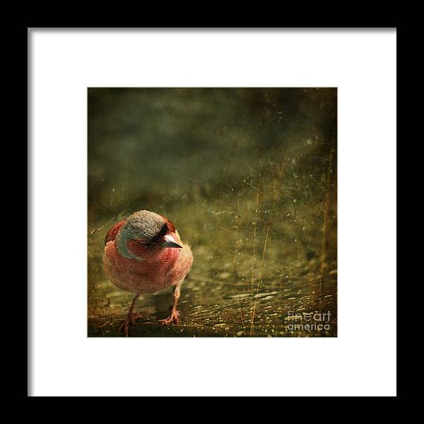 Chaffinch Framed Print featuring the photograph The Sad Chaffinch by Angel Ciesniarska