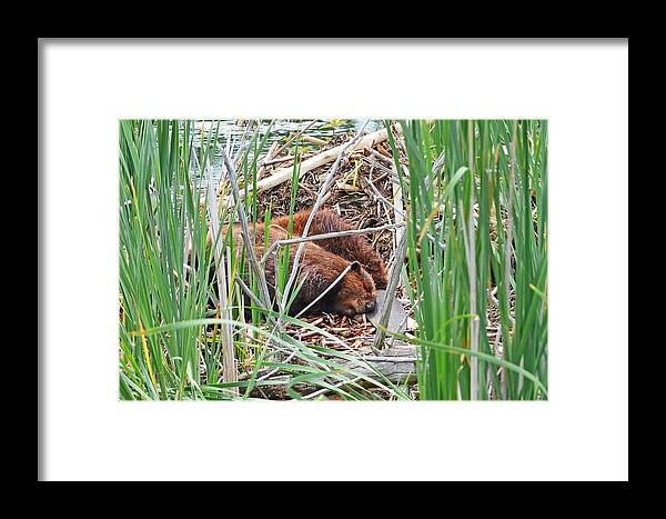 North American Beaver Framed Print featuring the photograph The Sleeping Beavers by Asbed Iskedjian