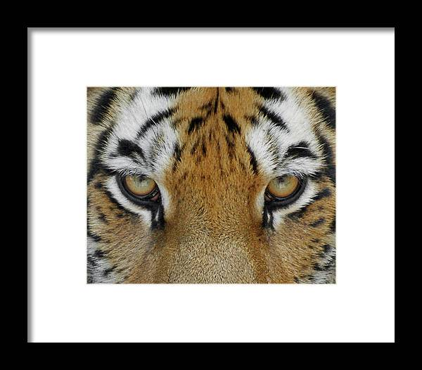 Tiger Framed Print featuring the photograph The Stare by Ernie Echols