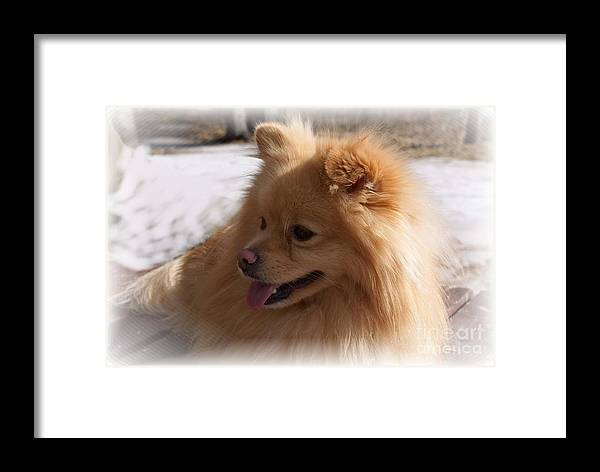 Pomeranian Dog Framed Print featuring the photograph The Sun On My Back by Joanne Smoley