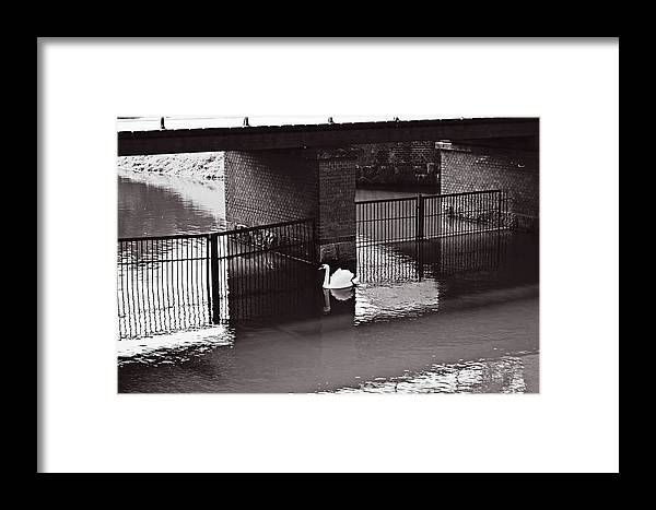The Framed Print featuring the photograph The Swan Story by HazelPhoto