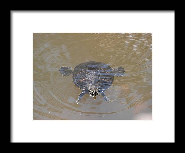 Water Framed Print featuring the photograph The Swimming Turtle by Rob Hans