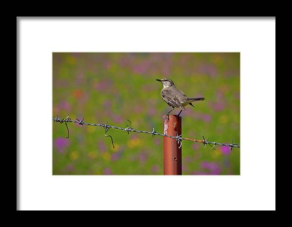the texas state bird framed print by linda unger