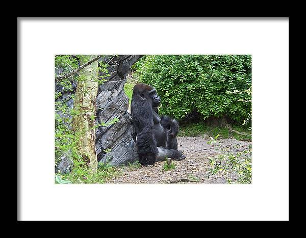 Gorilla Framed Print featuring the photograph The Thinker by Carol Bradley