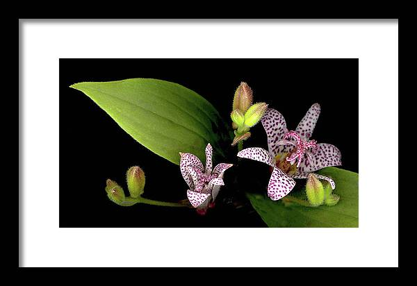 Lily Framed Print featuring the photograph The Toad Lily by Sandi F Hutchins