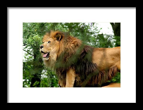 Lion Framed Print featuring the photograph The True King by ShadowWalker RavenEyes Dibler