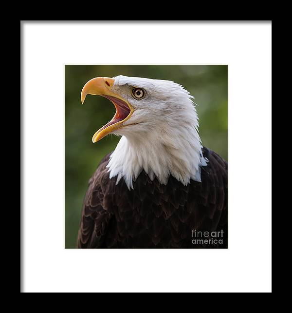 Bald Eagle Framed Print featuring the photograph The Voice Of The Nature 2 by Max Rose