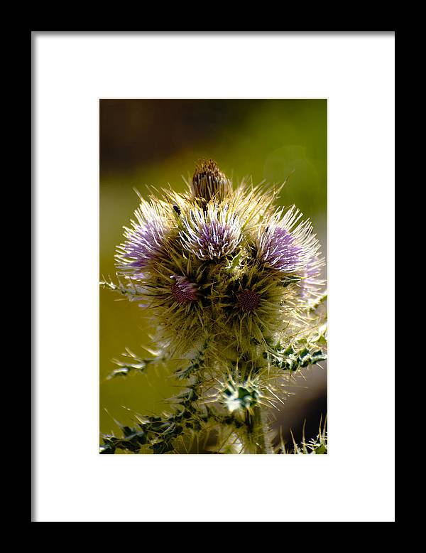 Thistles Framed Print featuring the photograph Thistles by Richard Henne