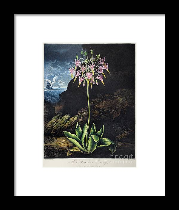 1801 Framed Print featuring the photograph Thornton: Cowslip by Granger