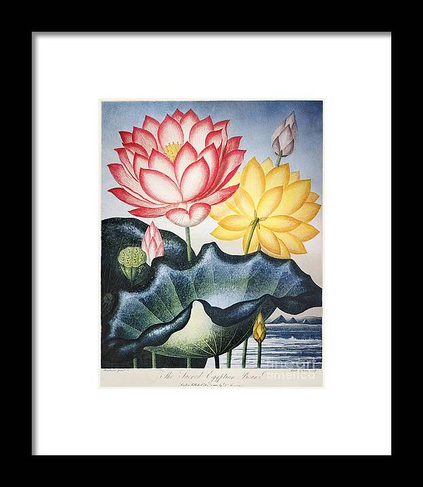 1804 Framed Print featuring the photograph Thornton: Lotus Flower by Granger
