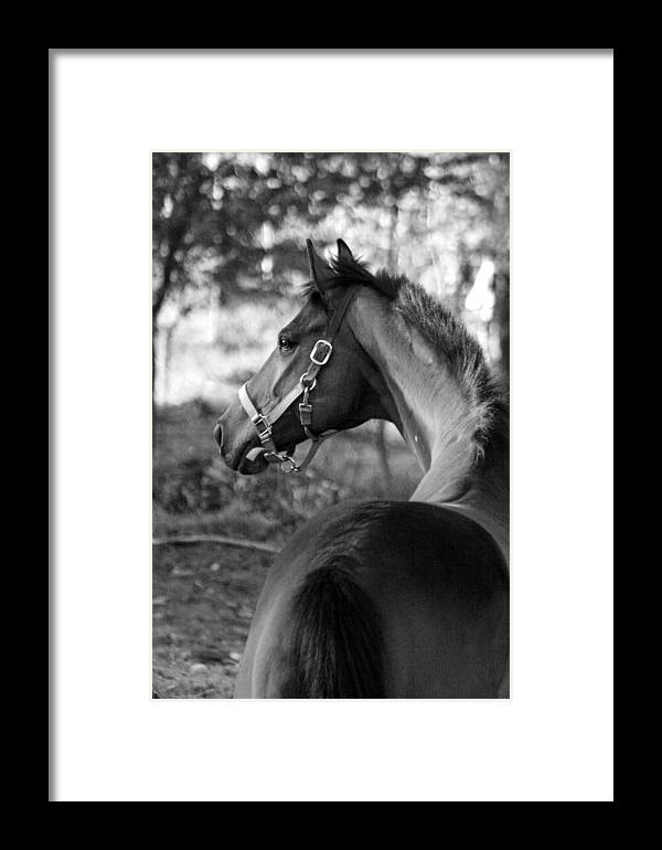 Thoroughbred Framed Print featuring the photograph Thoroughbred - Black And White by Angela Rath