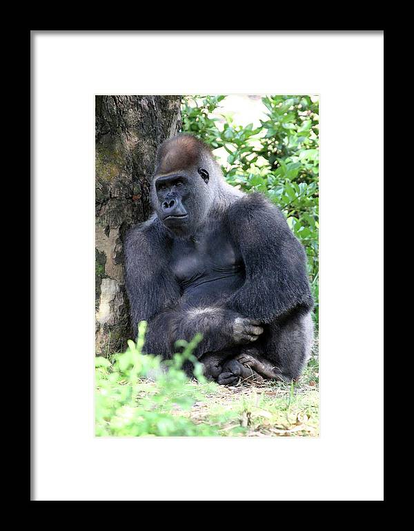 Gorilla Framed Print featuring the photograph Thoughtful by Mary Haber