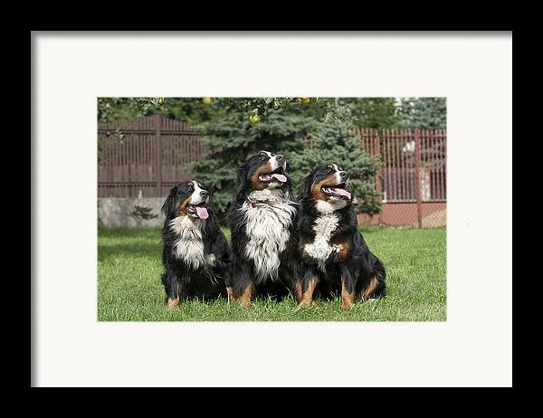 Berner Framed Print featuring the photograph Three Bernese Mountain Dog Portrait by Waldek Dabrowski