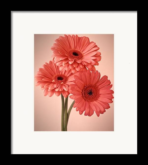 Flora Framed Print featuring the photograph Three Gerberas 1 by Joseph Gerges