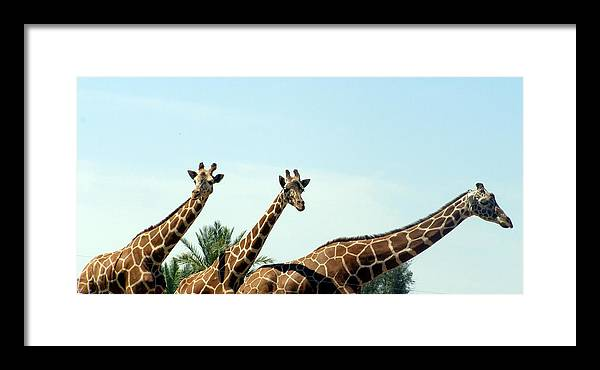 Giraffe Framed Print featuring the photograph Three In A Row by Jeanette Oberholtzer