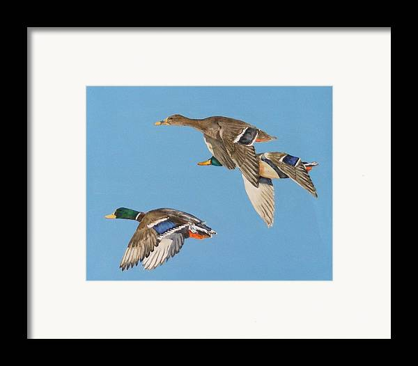 Blue Framed Print featuring the painting Three Mallards by Diane Ziemski