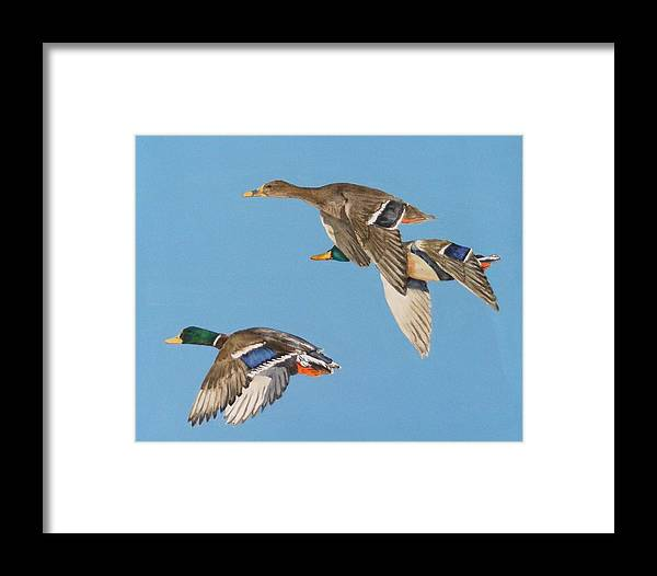 Blue Framed Print featuring the painting Three Mallards by Diane Ziemski