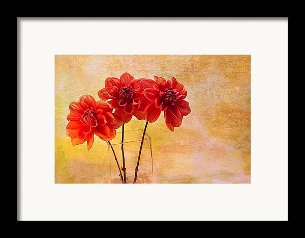 Dahlias Framed Print featuring the photograph Three Orange Dahlias by Rebecca Cozart