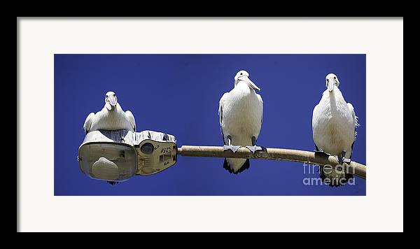 Australian White Pelicans Framed Print featuring the photograph Three Pelicans On A Lamp Post by Sheila Smart Fine Art Photography