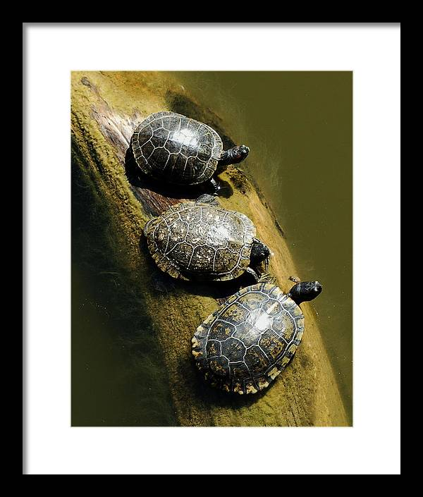 Turtles Framed Print featuring the photograph Three Turtles On A Log by Susan Heller