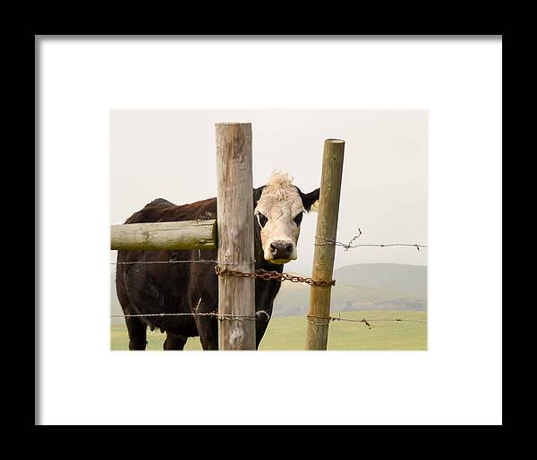 Cow Framed Print featuring the photograph Threshold Guardian by Maria Perry