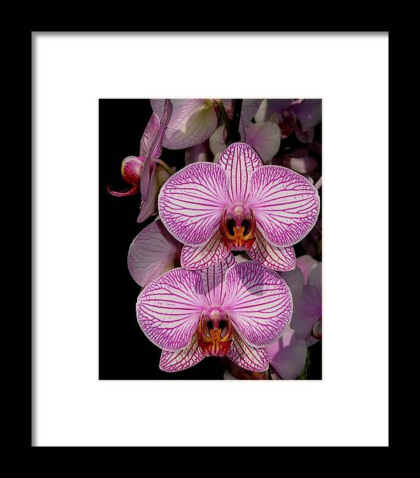 Orchid Framed Print featuring the photograph Tickled Pink by Betnoy Smith