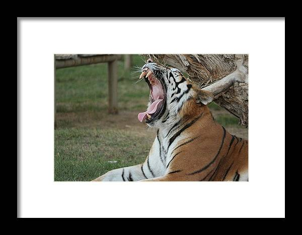 Tiger Framed Print featuring the photograph Tiger After Lunch by Jasser Daoud
