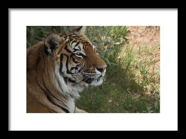 Bengal Framed Print featuring the photograph Tiger I by Susan Heller