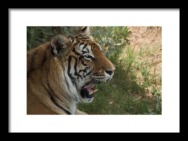 Tigesr Framed Print featuring the photograph Tiger II by Susan Heller