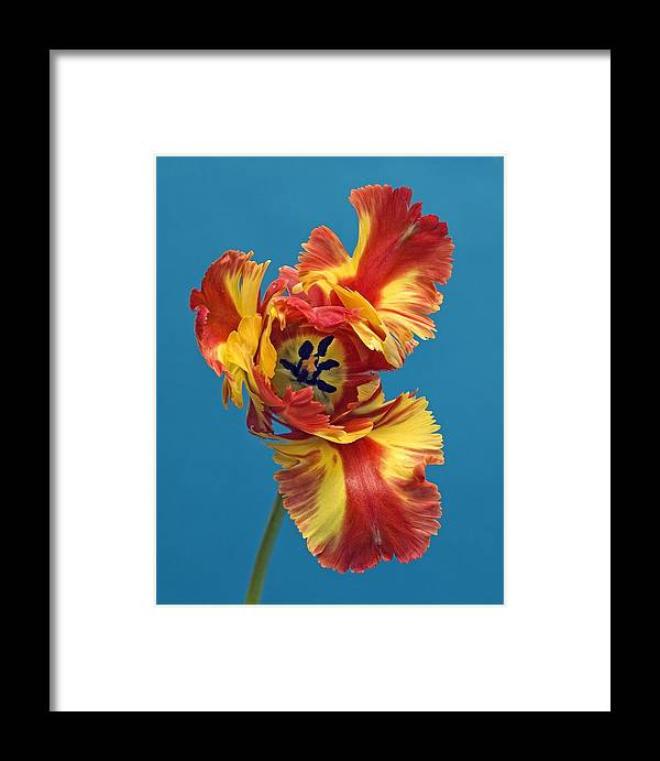Flower Framed Print featuring the photograph Tiger Lily 1 by Robert Ullmann