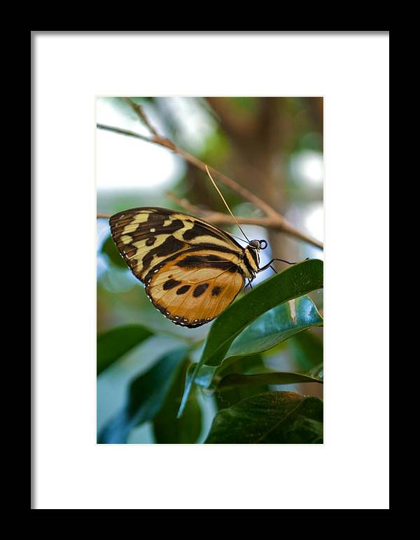 Animal Framed Print featuring the photograph Tiger Longwing Butterfly I by Michele Stoehr