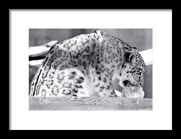 Tiger Framed Print featuring the photograph Tiger by Martin Rochefort