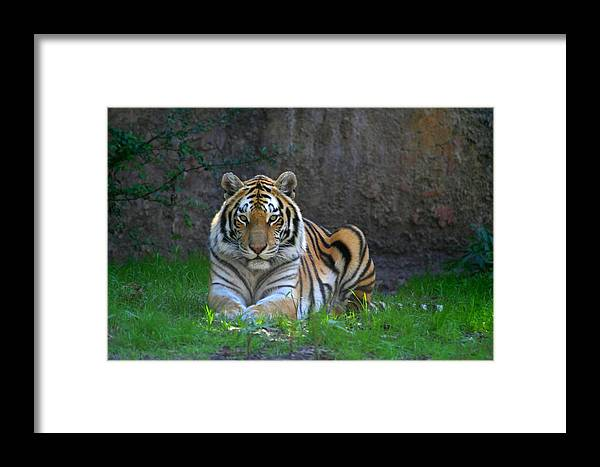 Tiger Framed Print featuring the photograph Tiger by Paul McCarthy
